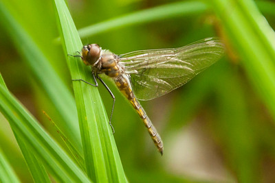 Baskettail-Common-(Epitheca cynosura)-adult-just emerged-Dunning Lake-Itasca County, MN