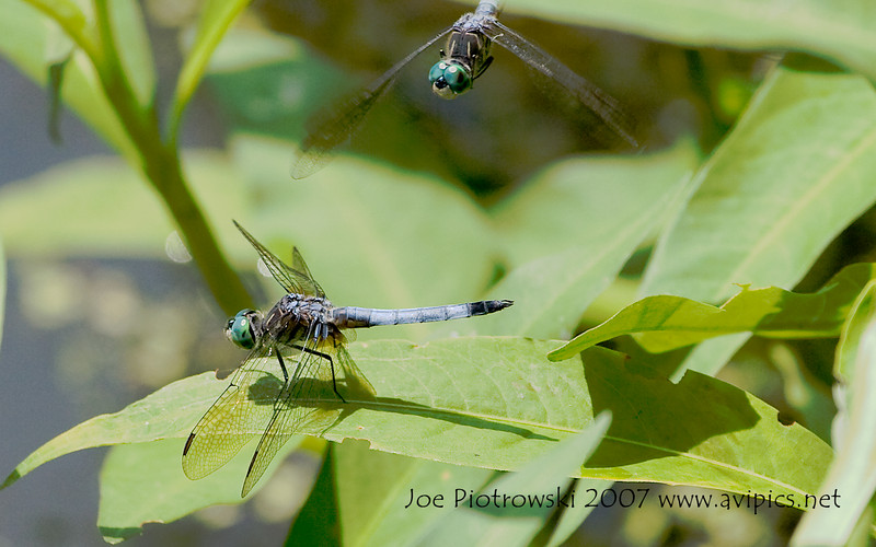 Blue Dasher males<br /> Pachydiplax longipennis