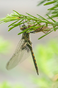 Baskettail-Common-(Epitheca cynosura)-adult and larva-Dunning Lake-Itasca County, MN