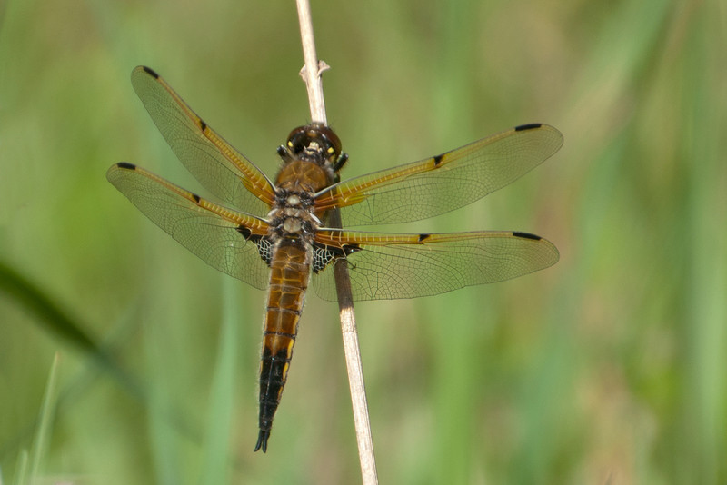 Skimmer - Four-spotted - (Libellula quadrimaculata) - Cohasset, MN