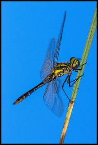 Dragonfly on a straw, with blue sky background