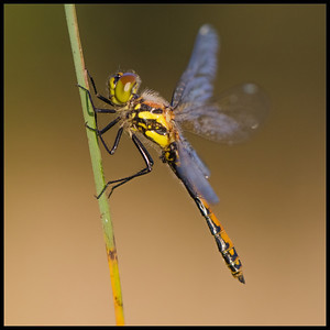 Dragonfly on a straw in the morning