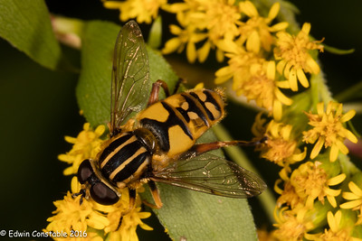 Helophilus pendulus, Striped Hoverfly, Sun Hoverfly, Brindled Hoverfly,