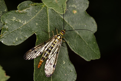 Mecoptera - Scorpionflies