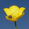 Andrena sp, Waverley Abbey, Surrey, May