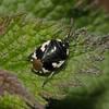 Pied Shieldbug - Tritomegas bicolor, Waverley Abbey, Surrey, April