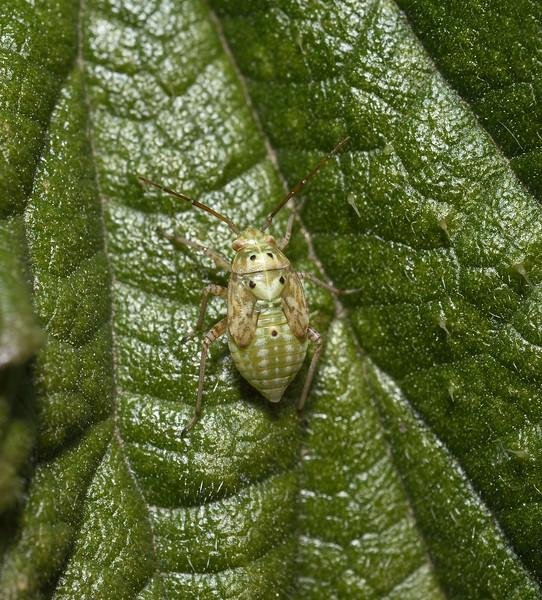 Lygus pratensis nymph, Carcassonne, October