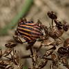 Graphosoma Lineatum, Carcassonne, October