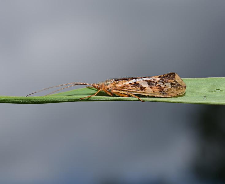 Caddis fly, Waverley Abbey, Surrey, May
