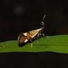 Alabonia geofrella, Hayes Common, June