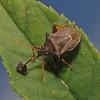 Picromerus bidens with caterpillar prey, Corfe Castle, August