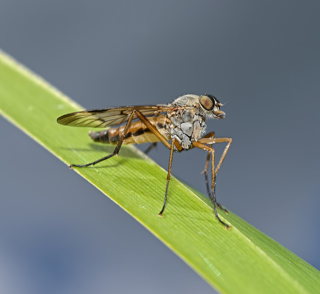 Snipe Fly, Waverley Abbey, Surrey, May