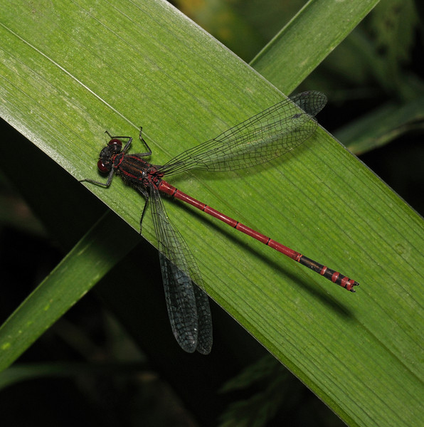 Male Large Red Damselfly - Pyrrhosoma nymphula, Hayes Common, June