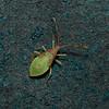 Box Bug, Gonocerus acuteangulatus nymph, Rainham Marshes, August