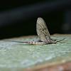 Mayfly, Waverley Abbey, Surrey, May