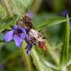 Rhopalus subrufus pair, Box Hill, May