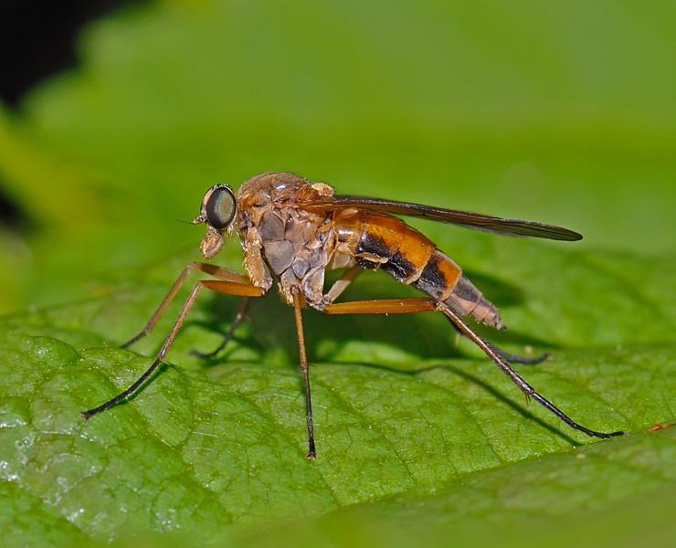 Snipe Fly, Slimbridge, May
