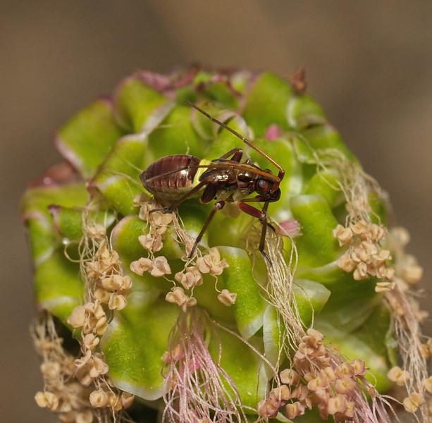Closterotomus fulvomaculatus nymph, Box Hill, June