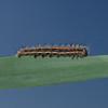 Reed Dagger moth larva, Rainham Marshes, August