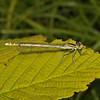 Female White-legged Damselfly - Platycnemis pennipes, Hayes Common, June