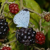 Holly Blue, Rainham Marshes, August