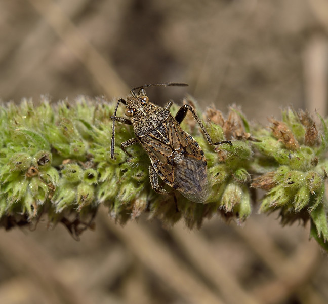 Stictopleurus  sp, Carcassonne, October