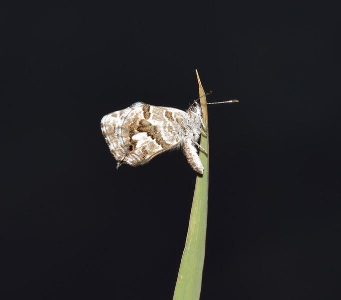 Cacyreus marshalli, Carcassonne, October