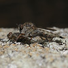 Robberfly and prey, Wandsworth, August