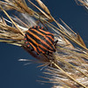 Graphosoma Lineatum, Carcassonne, October