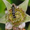 Longhorn beetle, Slimbridge , May