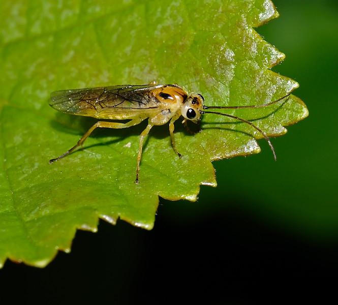 Sawfly, Slimbridge, May