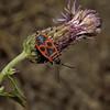 Pyrrhocoris apterus, Carcassonne, October