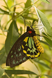 Cairns Birdwing Butterfly - (male)