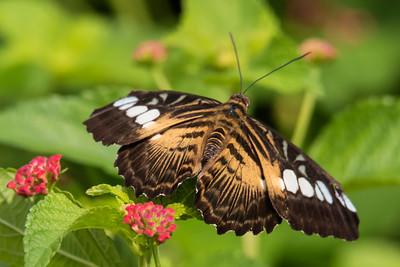 Brown Clipper - (Parthenos sylvia)