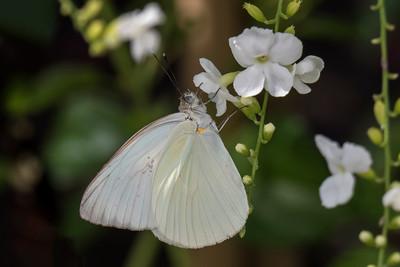 Great Southern White - (Ascia monuste)