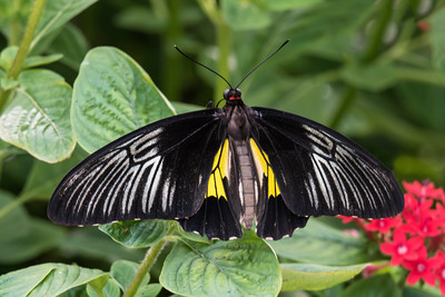 Golden Birdwing - (Troides rhadamantus)