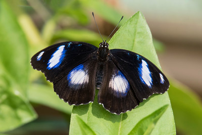 Blue Moon - (male) - (Hypolimnas bolina)