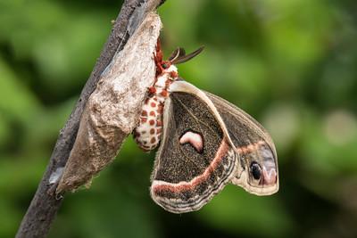 Cecropia Moth - (Hyalophora cecropia)