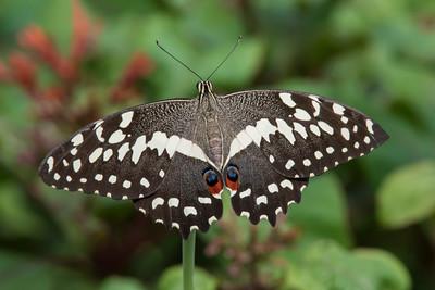 Citrus Swallowtail - (Papilio demodocus)