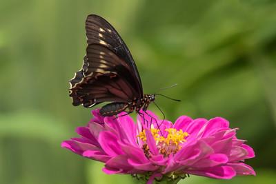 Gold Rim Swallowtail - (Papilio polydamus)