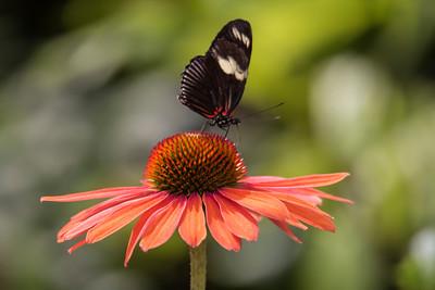 Doris Longwing - (Heliconius doris)