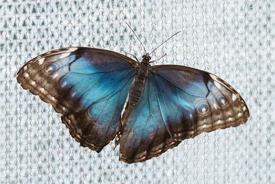 Blue Morpho - (Morpho peleides)