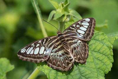 Blue Clipper - (Parthenos sylvia)