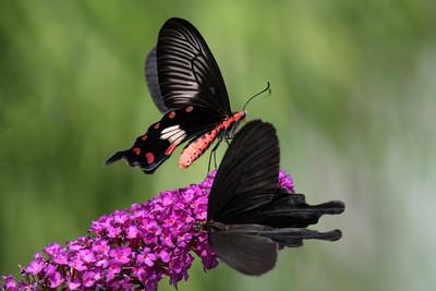 Great Mormon - (male) - (Papilio memnon)