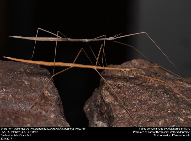 Short-horn walkingsticks (Heteronemiidae, Parabacillus hesperus (Hebard))