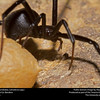 Black widow (Teridiidae, Latrodectus sp.)