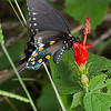 Pipevine swallowtail (Papilionidae, Battus philenor)