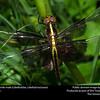 Widow Skimmer (Libellulidae, Libellula luctuosa)