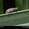 Blister beetle (Meloidae, Epicauta sp.)