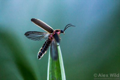 At the beginning of the evening, a male Photinus pyralis firefly launches himself into the air.  Urbana, Illinois, USA